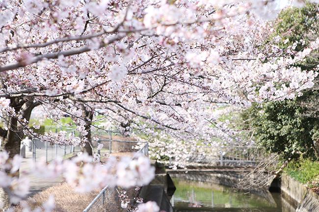 桜 さいたま市